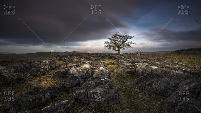 A lone weathered tree in amongst the limestone pavement of the Yorkshire Dales National Park, Yorkshire, England, United Kingdom, Europe