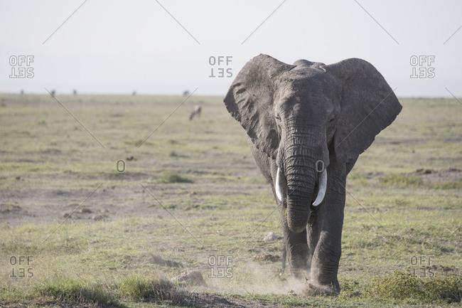 Elephant stirring up dust in Amboseli National Park, Kenya