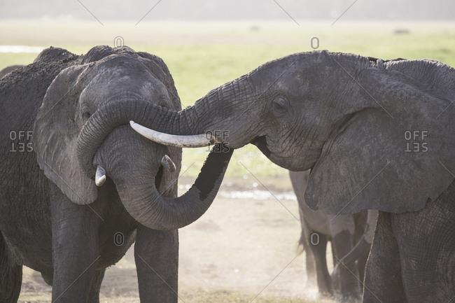 Elephants greeting each other in Amboseli National Park, Kenya