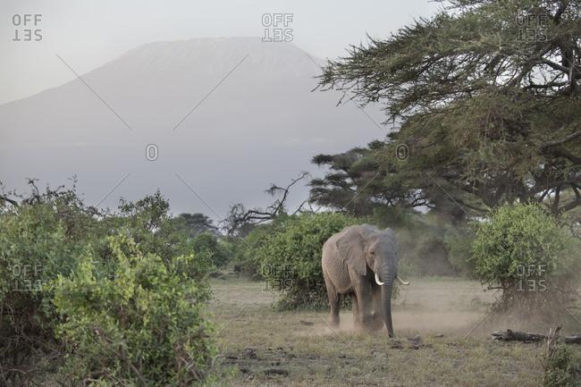 Elephant kicking up dust in Amboseli National Park, Kenya