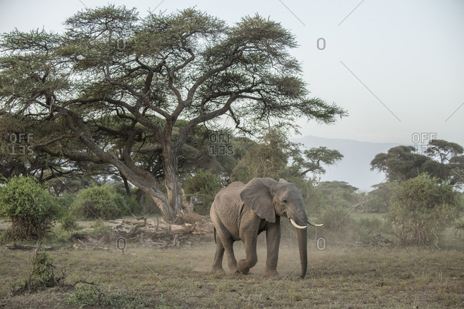 Elephant kicking up dust in Amboseli National Park, Kenya in the afternoon