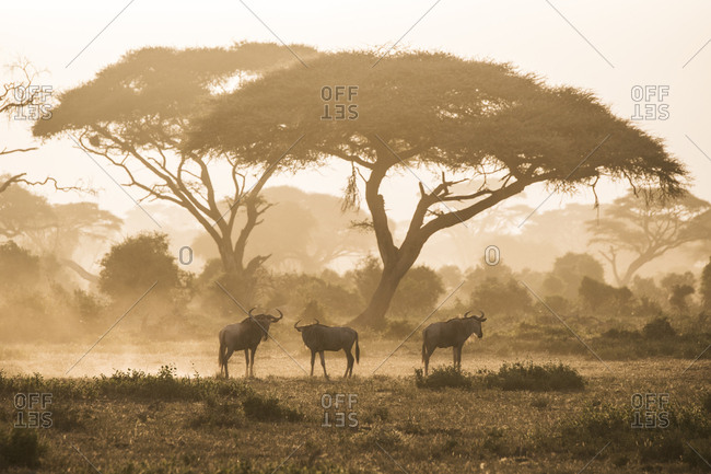 Wildebeests kicking up dust as they migrate at dusk in Amboseli National Park, Kenya