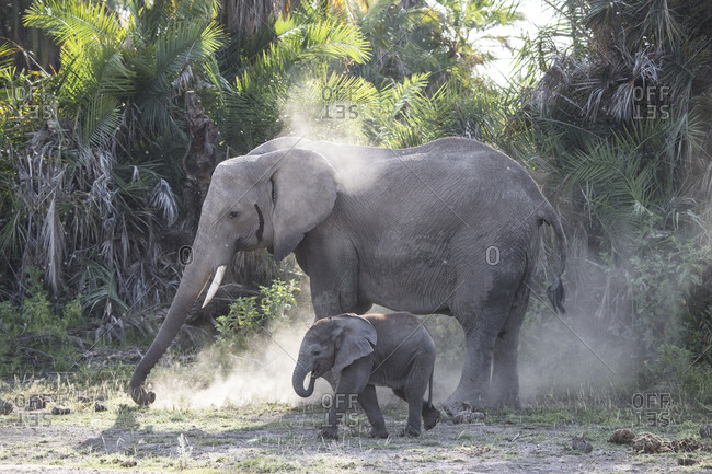 An elephant sprays herself and her baby with dust in Amboseli National Park, Kenya Dust provides some protection from sun and insects