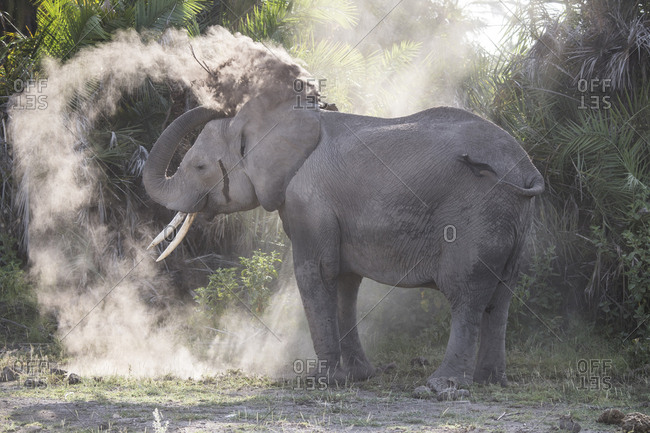 Elephant spraying herself with dust in Amboseli National Park, Kenya Dust provides some protection from sun and insects
