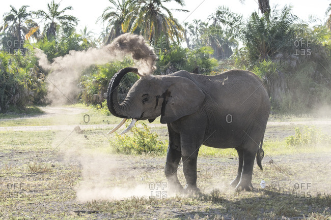 An elephant sprays itself with dust in Amboseli National Park, Kenya Dust provides some protection from sun and insects