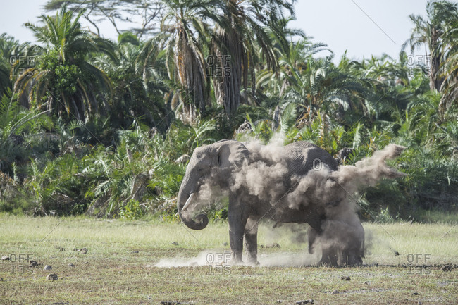 An elephant sprays dust on herself and her baby in Amboseli National Park, Kenya Dust provides some protection from sun and insects