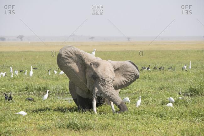 Elephant relaxing in a field in Amboseli National Park, Kenya