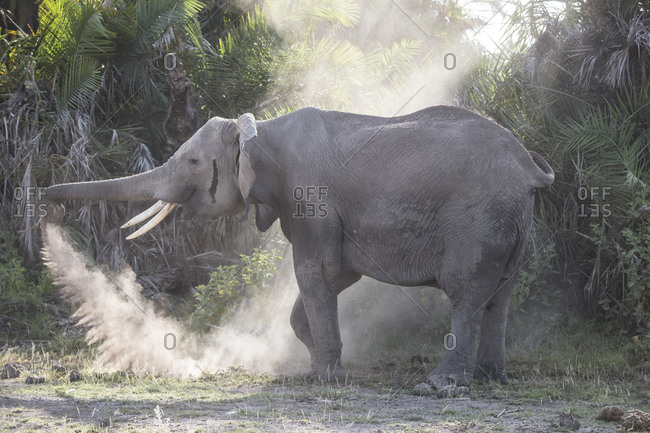 An elephant sprays herself with dust in Amboseli National Park, Kenya Dust provides some protection from sun and insects