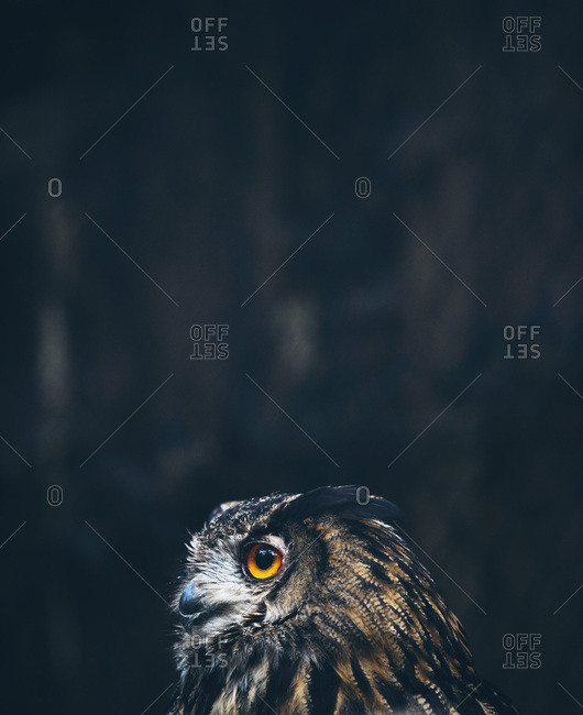 Brown and black owl with orange eyes