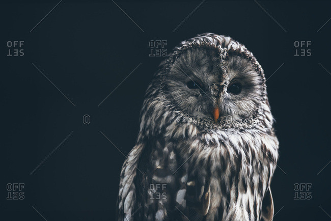 Great grey owl on dark background