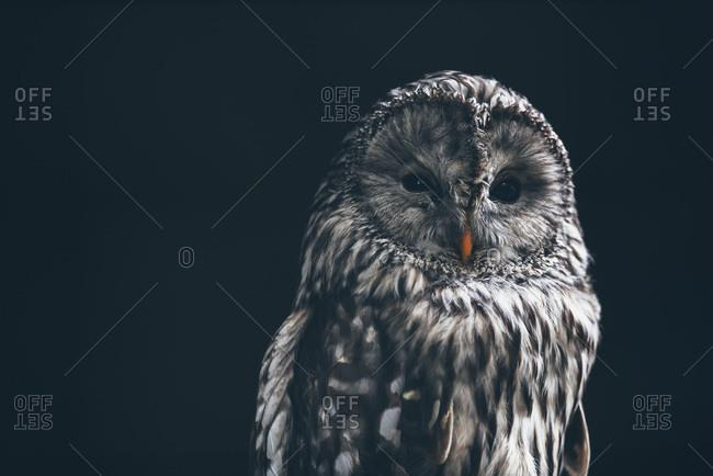 Great grey owl on dark background