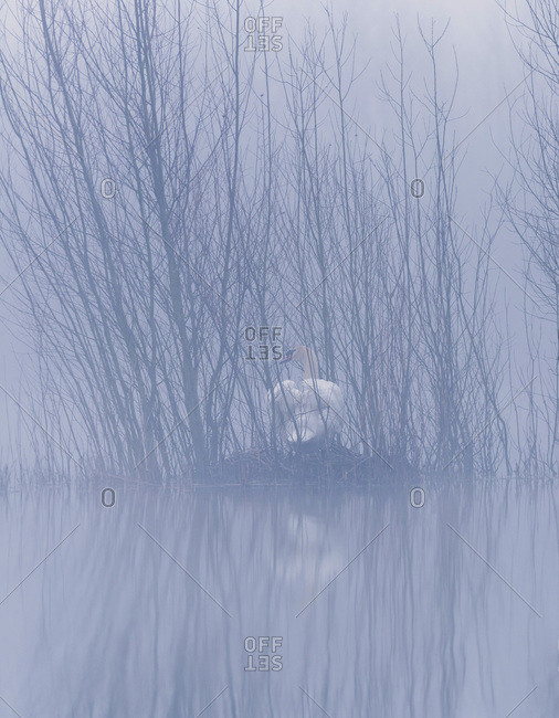 Mute swan hiding in bare trees on a lake