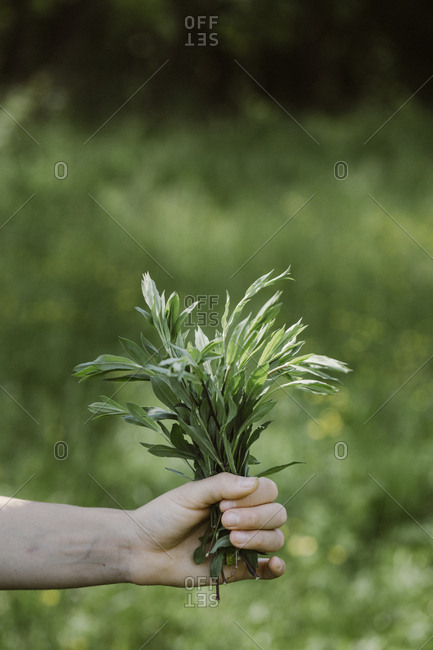 Italy, Veneto, Hand holding bunch of tarragon