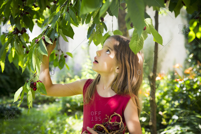 Portrait of little girl picking cherries