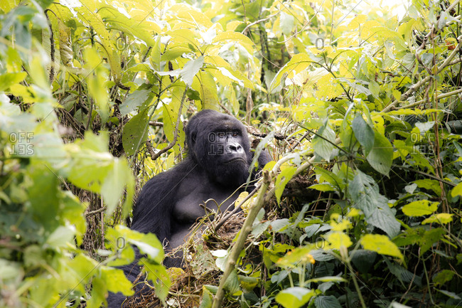 Africa, Democratic Republic of Congo, Mountain gorilla in jungle