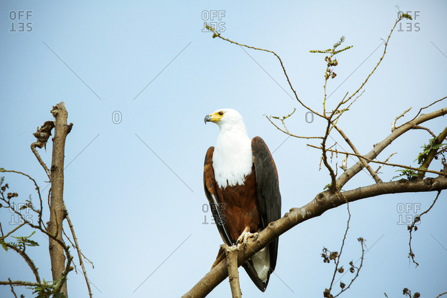 Uganda, Kigezi National Park, Bald eagle perching on branch