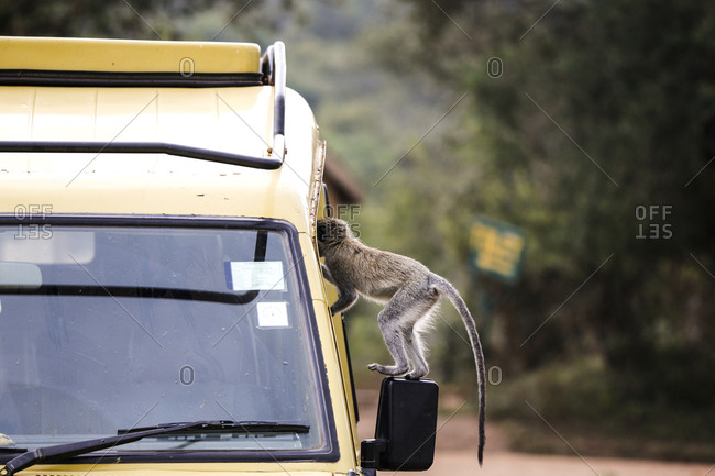 Uganda, Queen Elisabeth National Park, Curious vervet monkey climbing on off-road vehicle