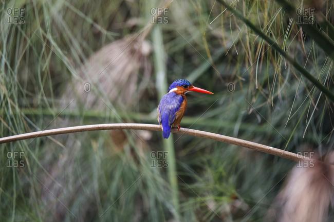 Uganda, Lake Victoria, Azure kingfisher perching on branch