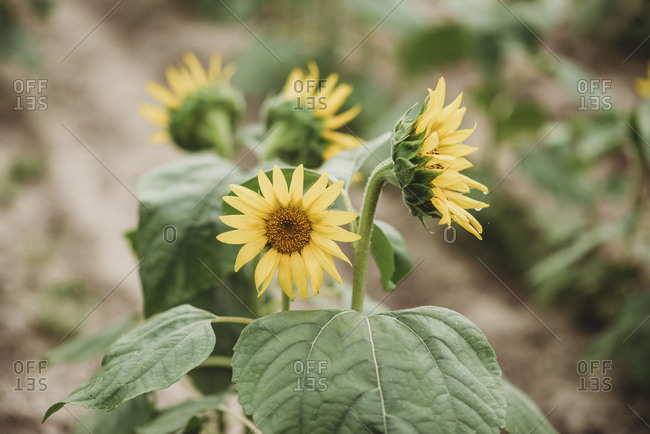Close-up of sunflower blooms