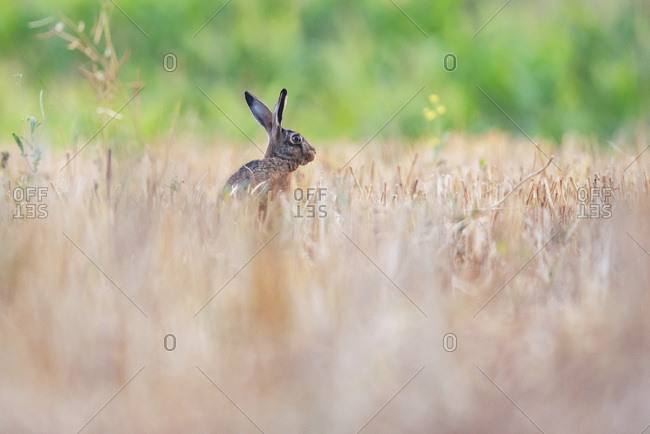 Alert rabbit in field
