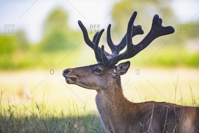 Profile view of male deer