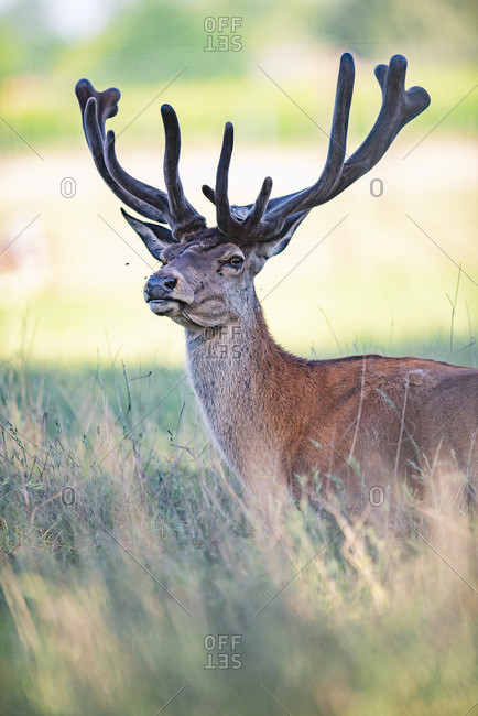 Alert male deer in a field