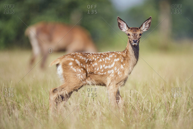 Young alert deer in a field