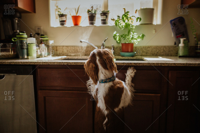 Rear view of dog looking into kitchen sink
