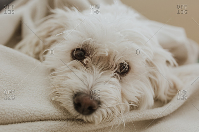 White dog lying on blanket