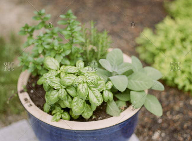 Variety of culinary herbs growing in pot