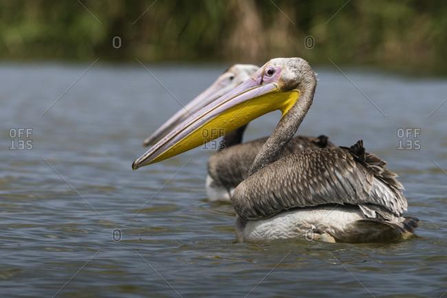 Great white pelican (Pelecanus onocrotalus), Tsavo, Kenya, East Africa, Africa