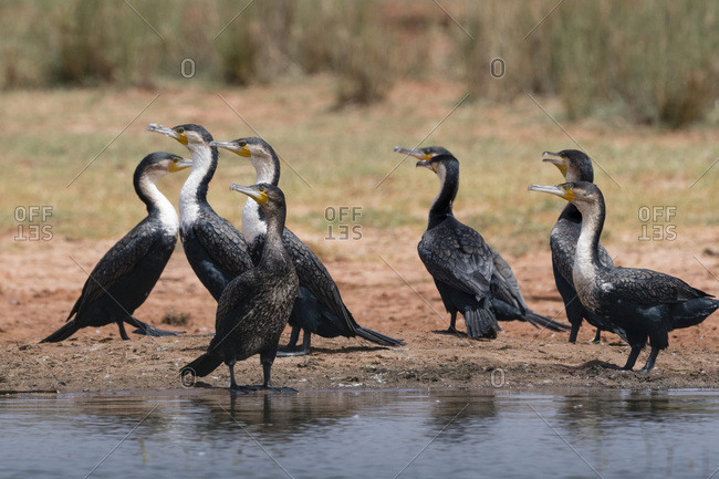 White-necked cormorant (Phalocrocorax carbo), Tsavo, Kenya, East Africa, Africa