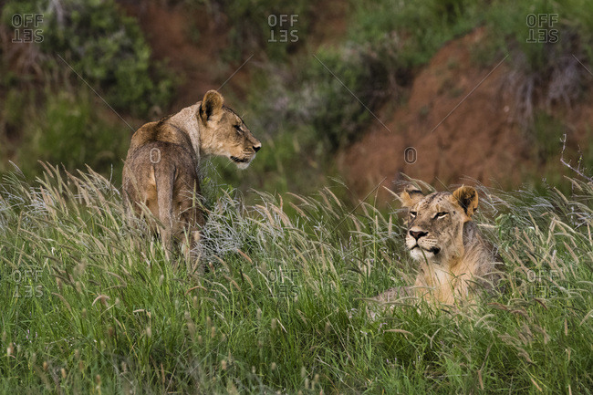 Lions (Panthera leo), Tsavo, Kenya, East Africa, Africa