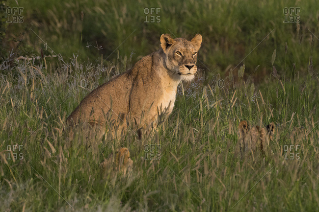 A lioness (Panthera leo) sitting in the grass with its cubs, Tsavo, Kenya, East Africa, Africa