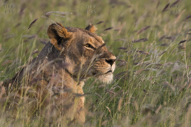 Portrait of a lioness (Panthera leo), in a field of purple grass, Kenya, East Africa, Africa