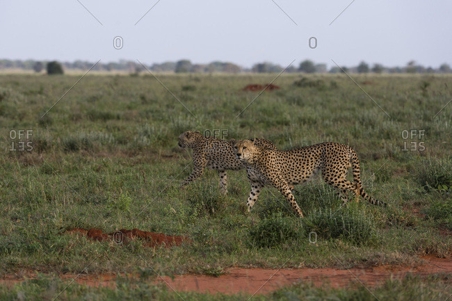 Two cheetahs (Acinonyx jubatus), walking in the savannah, Tsavo, Kenya, East Africa, Africa