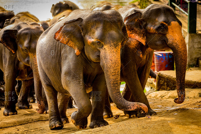 Elephants in Pinnawala, Sri Lanka, Asia