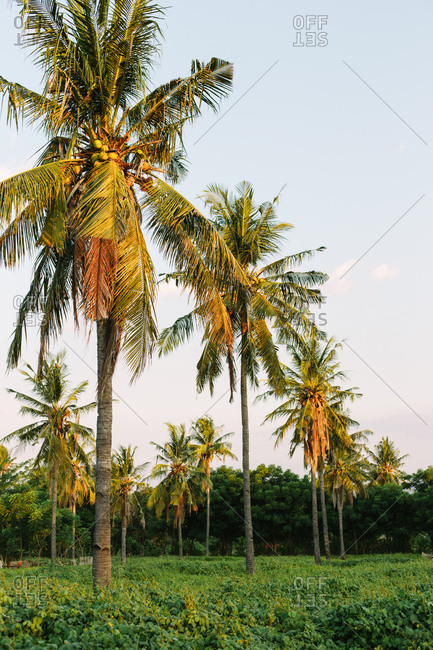 Coconut palm trees bask in golden light
