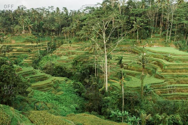 Rice patty farms in Ubud Bali, Indonesia