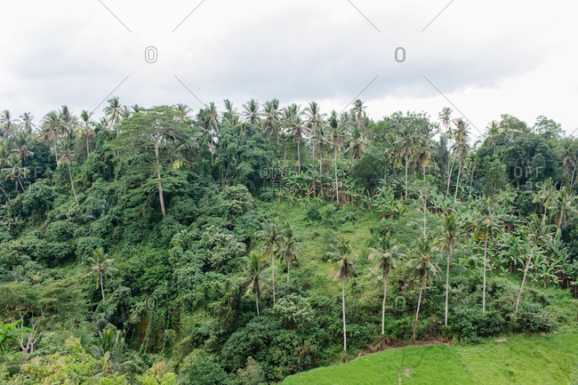Indonesian jungle with palm and banana trees