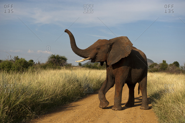 An African elephant in the Madikwe Game Preserve, South Africa.