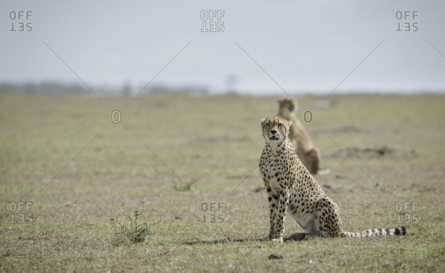 An alert Cheetah, Acinonyx jubatus, in Masai Mara National Reserve.