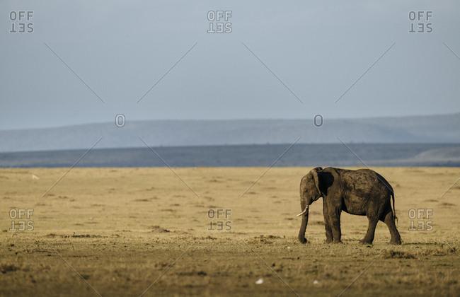 African elephant, Loxodonta africana, standing on savanna.