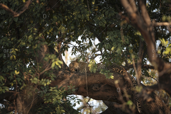 An African leopard, Panthera pardus pardus, resting on a tree branch at sunset.