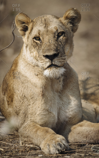 Close up portrait of a lioness, Panthera leo.
