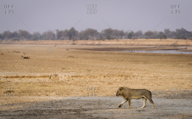 A male lion, Panthera leo, walking on the banks of the Luangwa River.