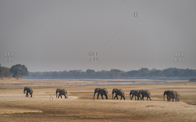 African elephants, Loxodonta africana, walking on the banks of the Luangwa river.