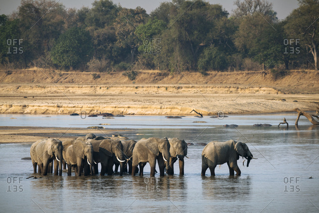 Herd of African elephants, Loxodonta Africana, crossing the Luangwa River at sunset.