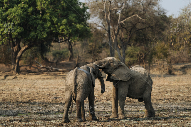 Two African elephants, Loxodonta africana, with intertwined trunks.