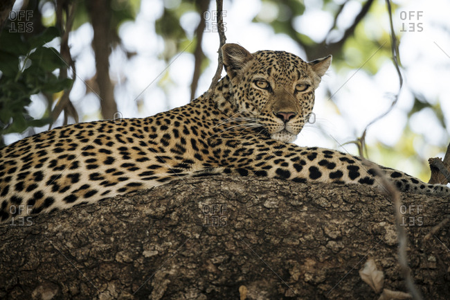 A female African leopard, Panthera pardus pardus, resting on a tree branch.